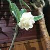 砂漠のバラことアデニウムがついに咲いた。