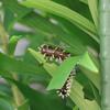 ルリタテハの終齢幼虫とキアシナガバチ