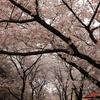 「桜は散るからいいんだ」――前回のお題「お花見」ふりかえり