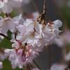 京都にしだれ桜を見に行ってきました。