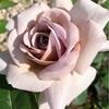 """【庭】Rosa """" Grey Pearl """""""