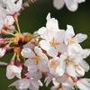 カメラを持って桜を見に行こう(望遠レンズ編)