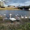 白鳥の過ごし方@広瀬川