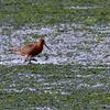 アオサの干潟を歩くオオソリハシシギ