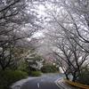 華の回廊ー五条の千本桜