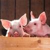 【豚コレラウイルス】人間に感染する?感染した豚を食べても大丈夫?