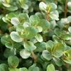 (水草)ロタラsp.レインボー(水上葉)(無農薬)(10本)