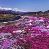 【長野県大町市】農具川の芝桜2018