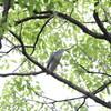 ゴイサギではなくササゴイ(大阪城野鳥探鳥 2017/07/01 4:40-8:35)