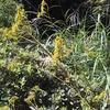 オミナエシは苦味が強い  秋の七草