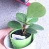 100円ショップの観葉植物276日目ペペロミア・オブツシフォリア20190220