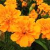 「マリーゴールド」は鮮やかなオレンジ色!