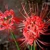 「彼岸花」の花、「仲秋四日」のお月さま。