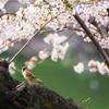 上野恩賜公園に花見に行ってきました🌸