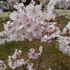 東京の桜は今週いっぱいかな?
