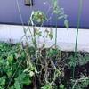 花壇の断捨離 & 冬野菜の準備