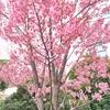 いつもは飛鳥山公園。だけど今年は珍しい場所でお花見をした。