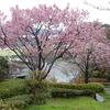 桜の花:みずづ公園(山口県長門市)