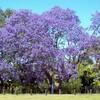 ハカランダ  Jacaranda mimosifolia
