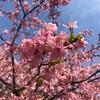 代々木公園ランニング〜初夏の暖かさ、寒桜が満開〜