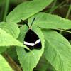 ホタルガとイオウイロハシリグモ