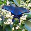 青い蝶に出会う
