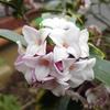 沈丁花(ジンチョウゲ)の花満開に伴い、学校問題を含むあれこれと!