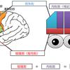 前頭葉の脳の分類について MRI CT