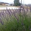 庭のラベンダー