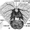 小脳核の語呂合わせ(歯状核,栓状核,球状核,室頂核)