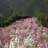 天空の庭といわれる東吉野村の高見の郷へ。1000本のしだれ桜はまるで桃源郷のようだった。
