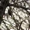 早朝探鳥・井の頭公園の野鳥/2019-2-16・18