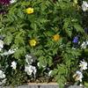 大型プランターの花達