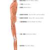~人物~ 人体の構造 基本的な筋肉 側面