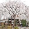本満寺のしだれ桜。見頃や開花状況。