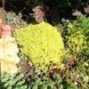 セダムの黄金細葉万年草(オウゴンホソバマンネングサ)のもこもこセダムが流行っているみたい!じゃあ作ろうぜ!