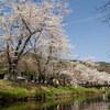 桜を追いかけて 忍野村へ