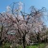 神戸大学兼松記念館前のしだれ桜、見頃。