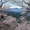 長野県)2006年4月22日。高遠城址公園の桜。勝間薬師堂のしだれ桜。