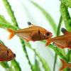 (熱帯魚)ネオンサーペテトラ(約3cm)(10匹)【水槽/熱帯魚/観賞魚/飼育】【生体】【通販/販売】【アクアリウム】