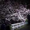 宇治川No.1の夜桜、撮影成功