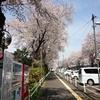 平成30年の桜並木