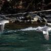 日本 水面近くを飛ぶカワアイサ
