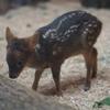 癒し度100%!! 世界最小の鹿♪ かわいすぎるプーズーの赤ちゃん♡