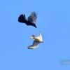 天売島の猛禽たち
