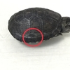 トウブドロガメ子亀へ号、甲羅に怪我。