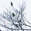 2021年1月の観察記録(野鳥)