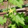 「佐久の季節便り」、炎天下に似合う、「凌霄花(のうぜんかづら)」が咲いて…。