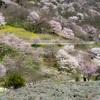 陸郷の山桜(桜仙峡)、夢農場の桜、見頃だよ 2019.4.19