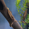 タイコウチ Laccotrephes japonensis